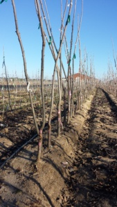 Grafted Pecan trees ready to be dug up